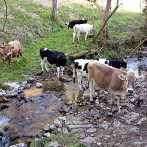 El aumento de casos de tuberculosis en la cabaña ganadera de Parres crea alarma entre los ganaderos, alerta Ciudadanos